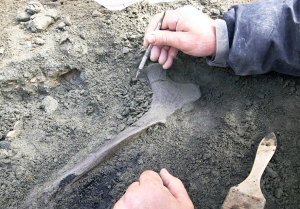 Exposing the pelvic bone of an adult duck-billed dinosaur in a dinosaur quarry during the summer of 2014 on the Colville River. Photo by Roger Topp